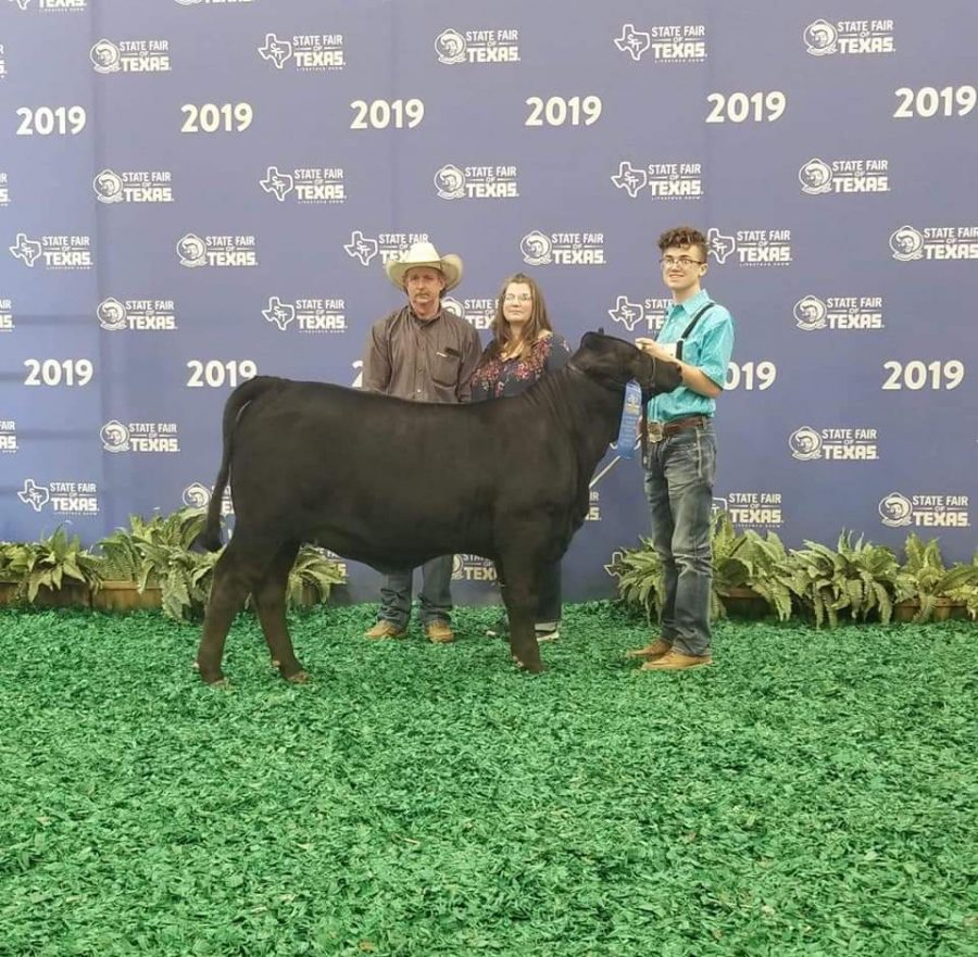 State Fair of Texas heifer show part 2